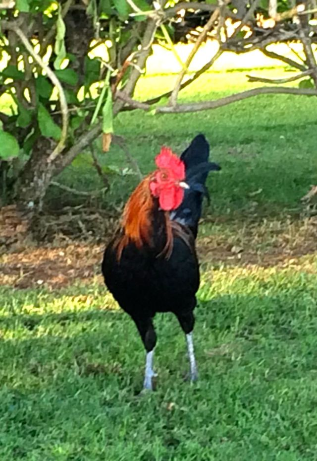 This wild rooster is safer in the wild in Hawaii.