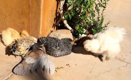 Chickens love sunbathing!