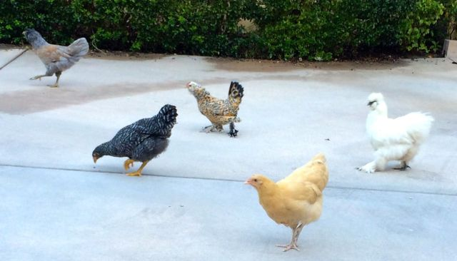 And now we have a flock - Luna is part of the deal, too!