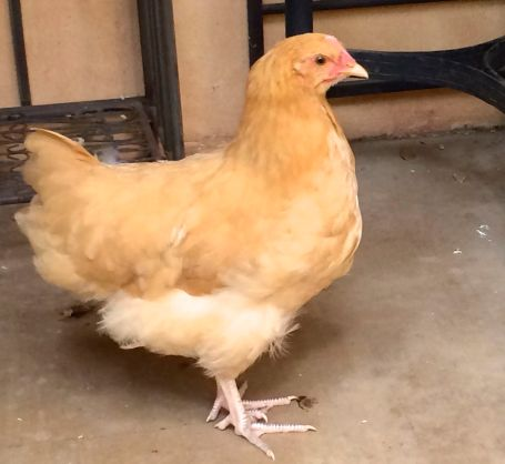 A Buff Orpington, Summer will end up being the largest of the hens.