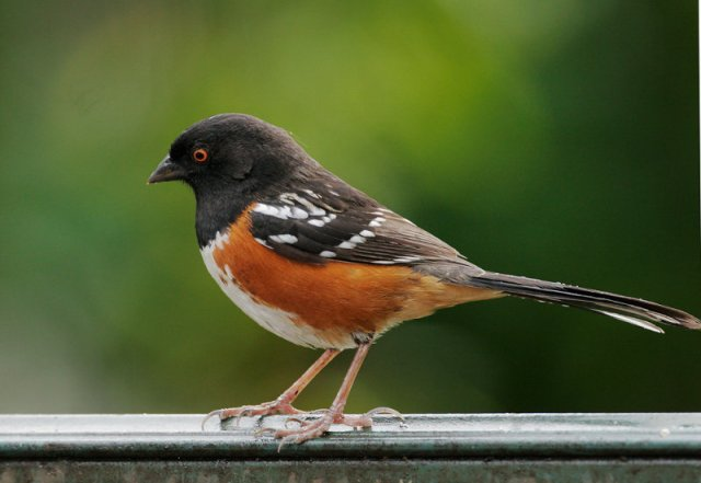 The Spotted Towhee's bright markings make it  easy to identify. (image from pbase.com)