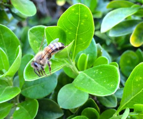 We are blessed with plenty of honey bees on our property.