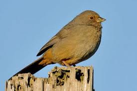 California Towhees are also plentiful on our property. (image from kiwifoto.com)