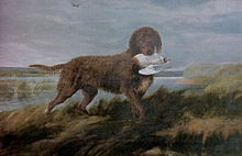 In case you didn't know: Golden Retrievers are descended from the now-extinct Tweed Water Spaniel.