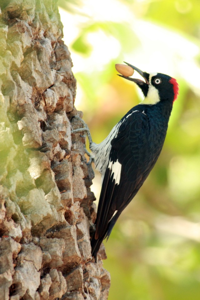 Here's the culprit: Acorn Woodpecker (image from ibc.linxeds.com)