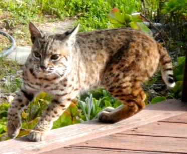 Local bobcat sightings have greatly increased in recent months. (image from edhat.com)
