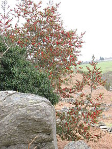 Holly and ivy are traditionally associated with Christmas in Britain. Here they grow together in Wales. (Wikipedia image)