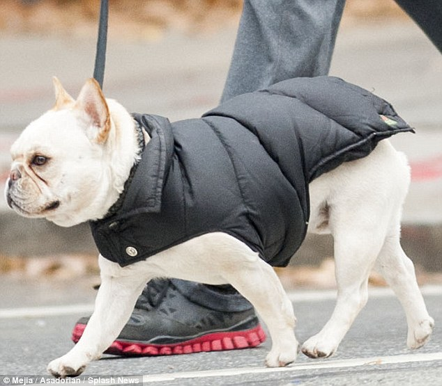 Don't forget about the dog: Hugh Jackman's pup takes a New York City stroll in his doggie puffer. (image from dailymail.uk)