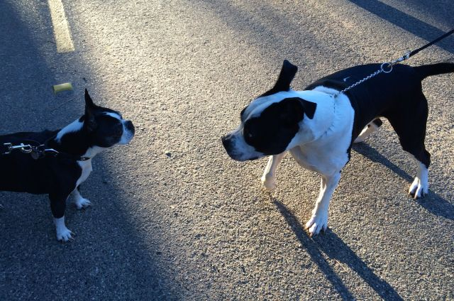 Tiny (left) came, too, and met his almost-match in our neighborhood.