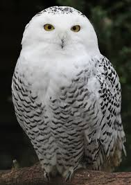 The Snowy Owl is one of the enchanting subjects of Haupt's book (wikipedia image)