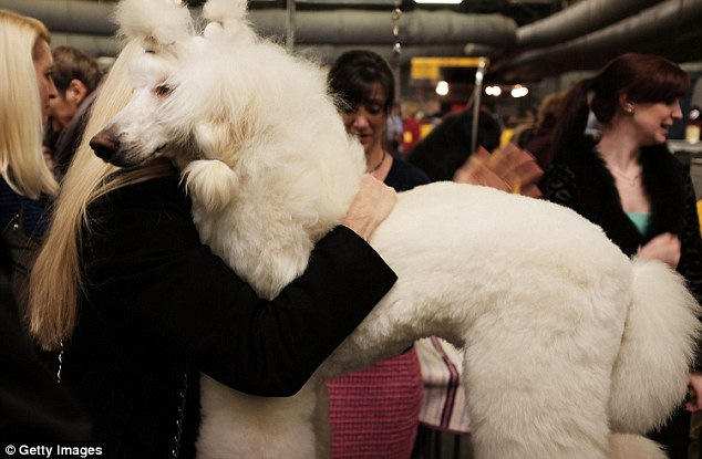 Lost and Found: Paris the Poodle is re-united with its owner (Reuters image)
