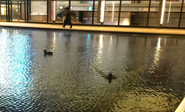 Why migrate when the pool is heated: ducks at Lincoln Center in February.