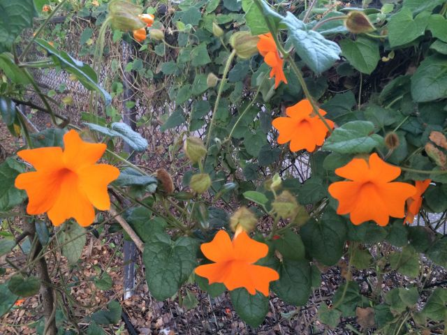 The orange-clock vines where Summer took her last stroll.