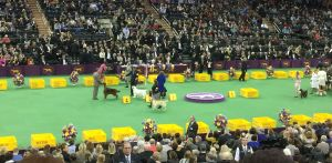 The 2015 Westminster Dog Show