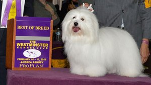 """But Westminster thought this Coton was """"Justincredible"""""""