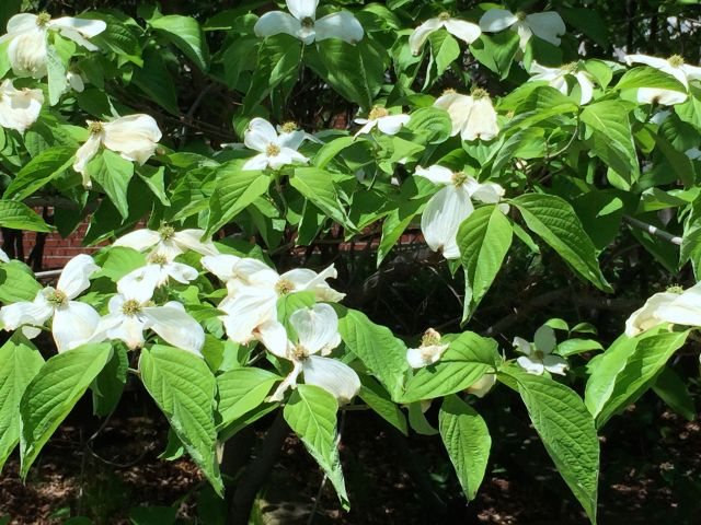 At least I know this one: dogwoods are currently in bloom on The High Line.