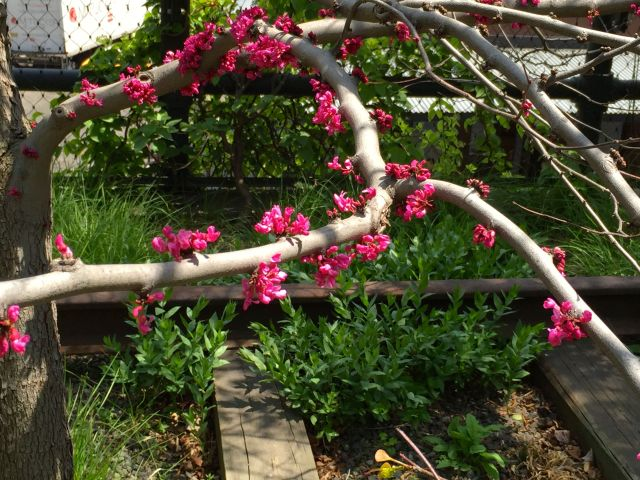 And I'm probably safe in guessing that this is a redbud tree.