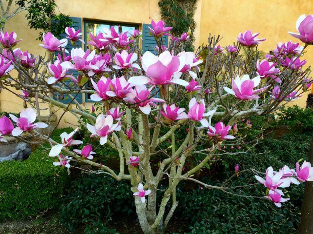 magnolias feb 2016