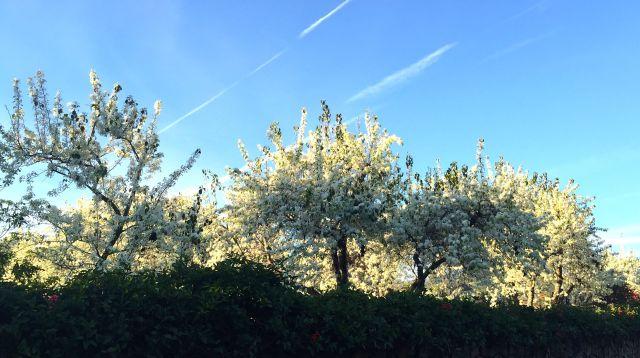 pear trees feb 11 2016.jpg
