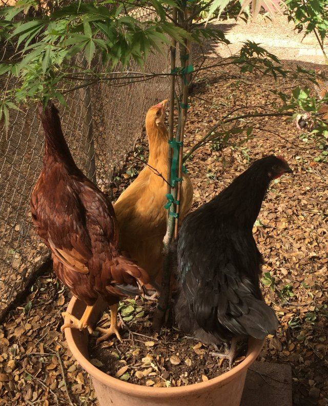 three pullets in pot