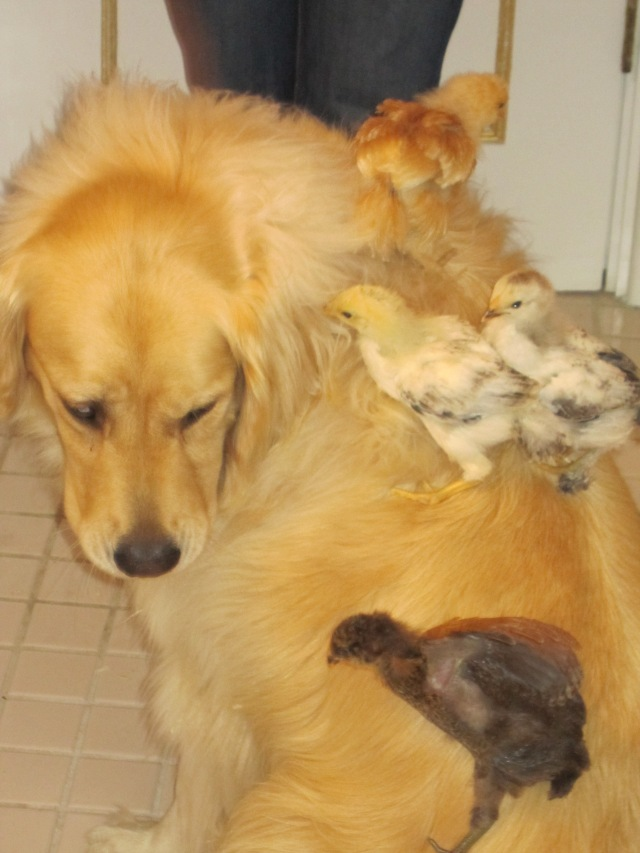 chloe-with-baby-chicks-copy