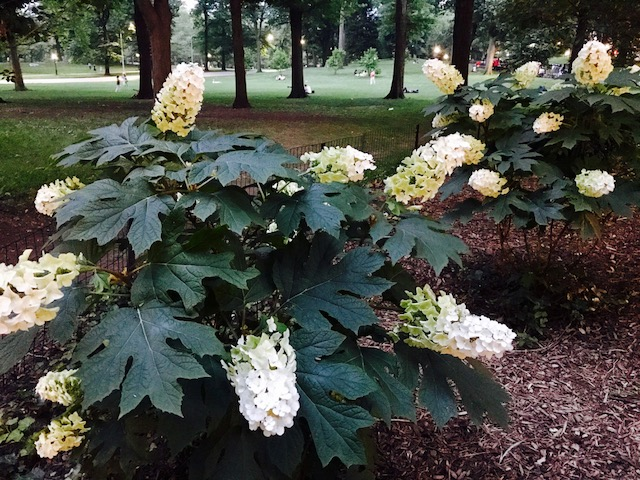 hydrangeas Central Park dusk july 2017