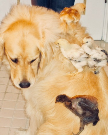 chloe with baby chicks