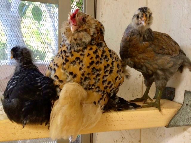 pippa-and-chicks-on-roost-august-11-2014
